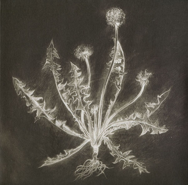 Scott Tuma - Dandelion. Artwork by Chris Koelle.
