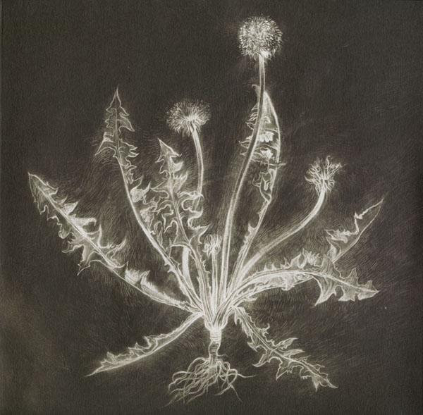 Scott Tuma - Dandelion. Artwork by Chris Koelle.